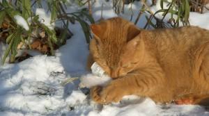 cat ice
