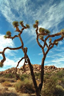 joshua-tree-wispy-sky